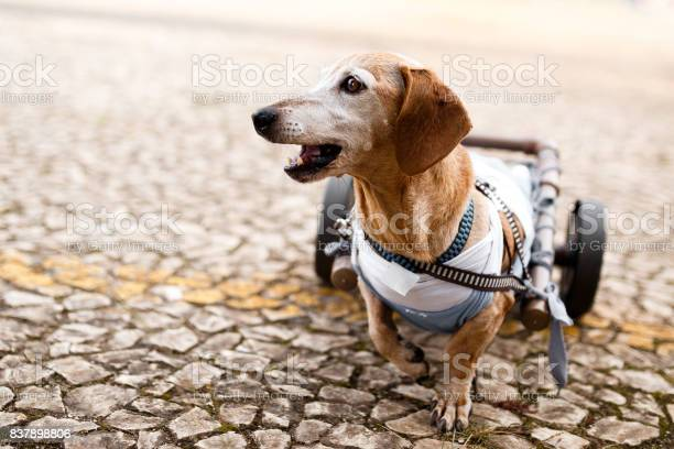 Paraplegic senior dog picture id837898806?b=1&k=6&m=837898806&s=612x612&h=6an4qlioch0ktqohkdprohaxp1ny6epejfrcozwsyma=