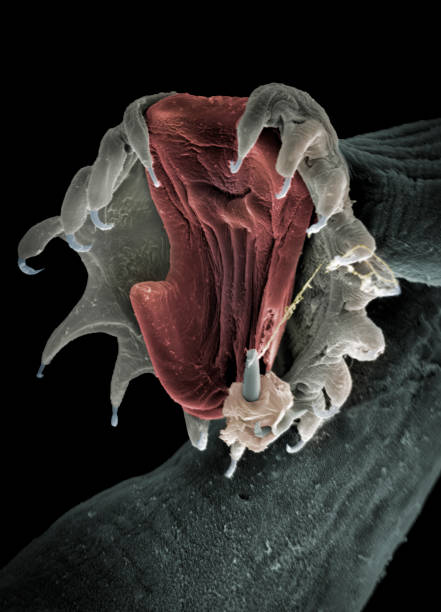 Parasite attachment organ, SEM The aquatic parasite Gyrodactylus salaris attaches to fish skin by means of a complex hook and anchor arrangement causing skin damage. SEM, coloured, x840 at 10cm wide. atlantic salmon stock pictures, royalty-free photos & images