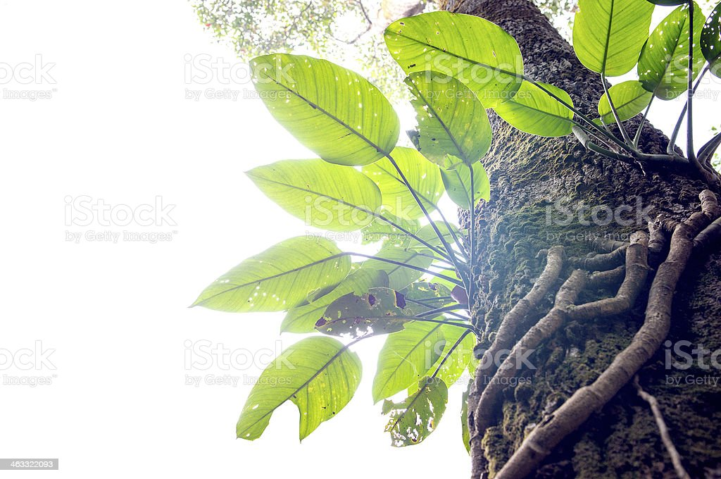 Parasite plant growing the big tree stock photo