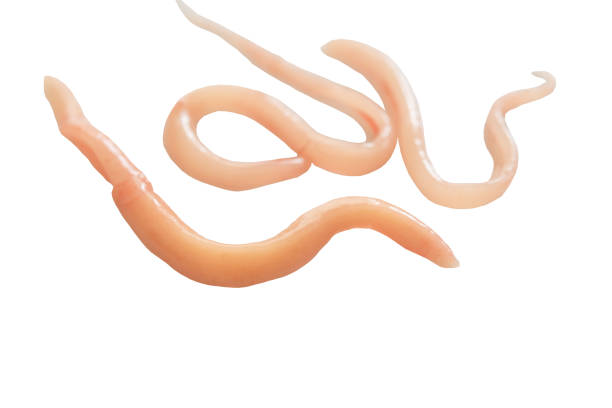 A parasite that grows in the intestines stock photo