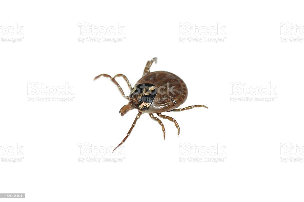 parasite tick stock photo