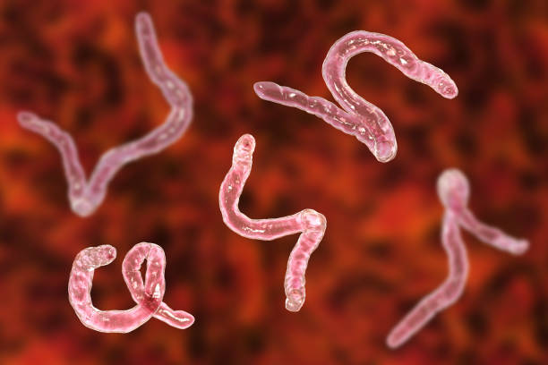 Parasitic hookworm Ancylosoma stock photo
