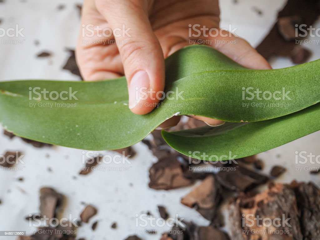 Parasitic mealybug on leaves of orchids. Parasites on plants. Diseases of plants. stock photo
