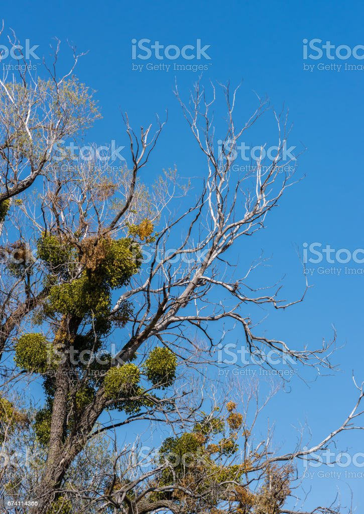 Parasitic mistletoe on tree branches in spring 免版稅 stock photo