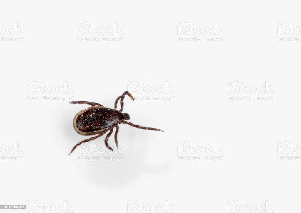 A parasitic tick crawls on a white surface. Close-up stock photo