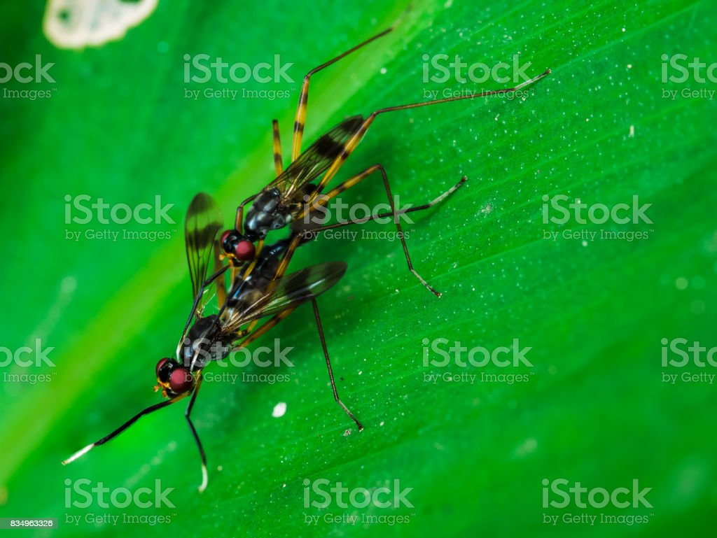 parasitic wasps having a sexual activity stock photo