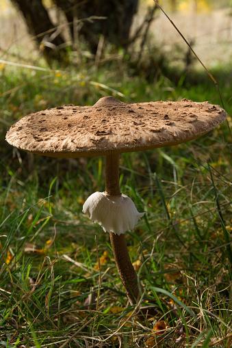 Parasol Mushroom in autumn -  Seta Macrolepiota Procera en otoño