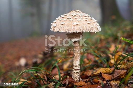 Parasol mushroom in forest. Edible mushroom in autumn woodland