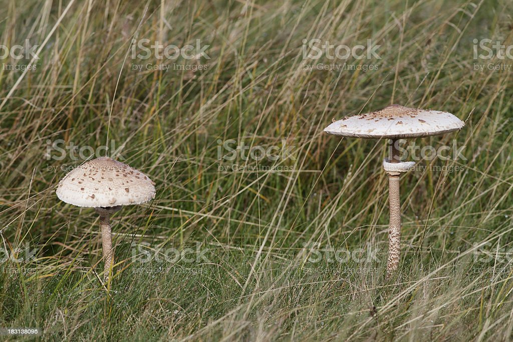 Edible parasol mushrooms with copy space stock photo