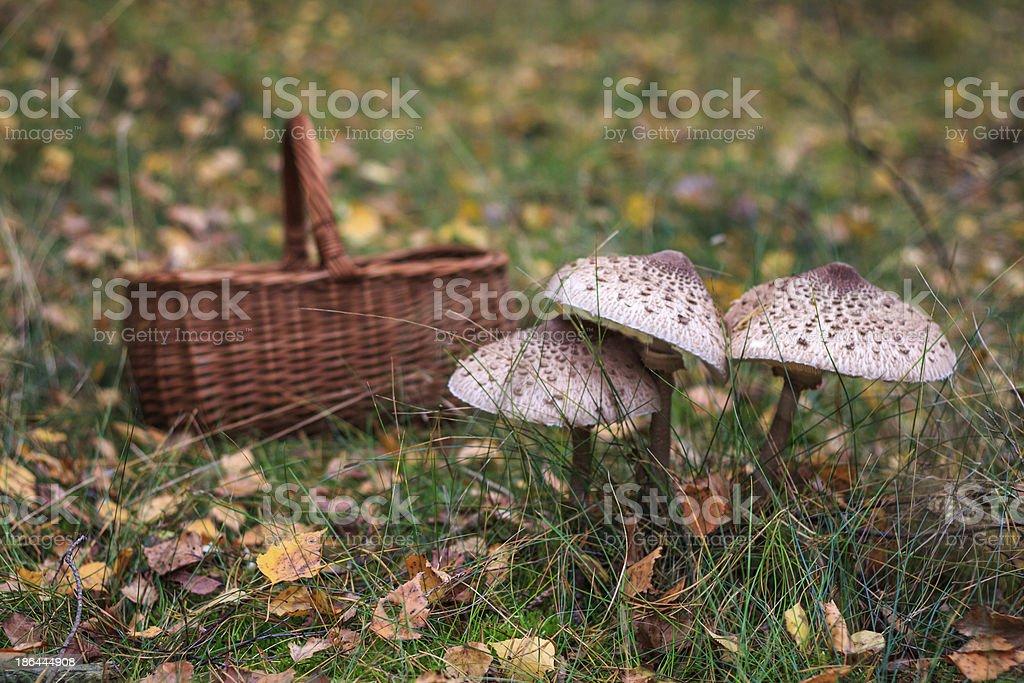 Parasol mushrooms and wicker basket royalty-free stock photo