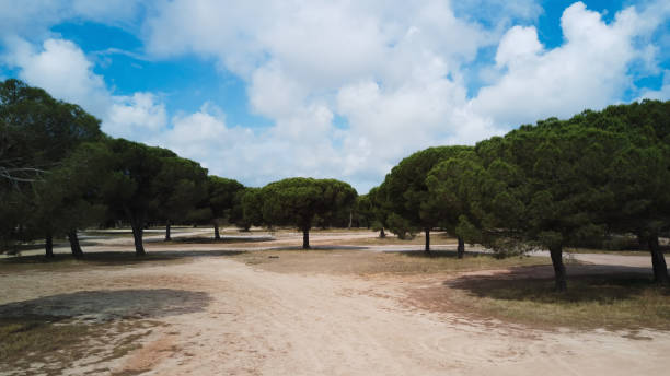 Parasol Pine Forest stock photo
