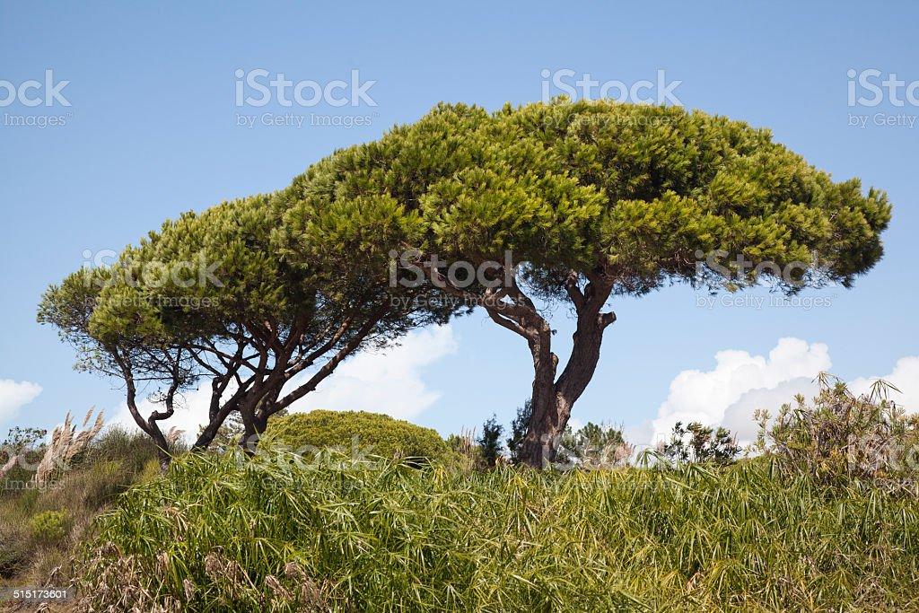 Parasol Pine stock photo