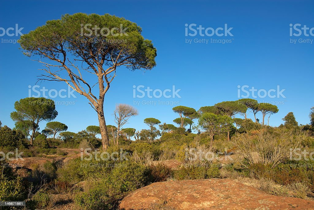 Parasol pines in Provence stock photo