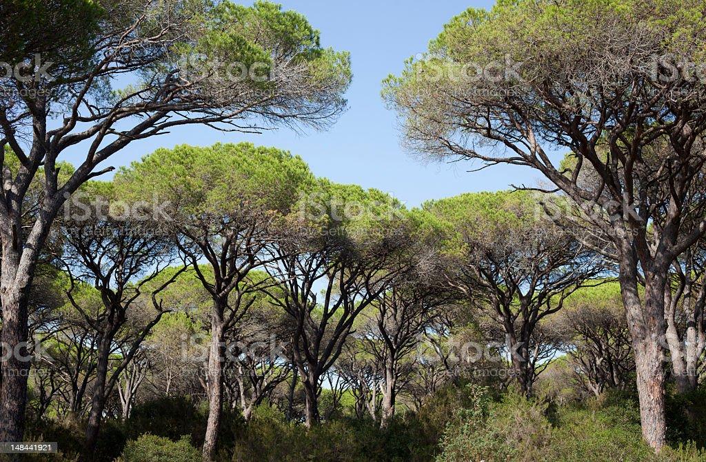 Parasol Pines stock photo