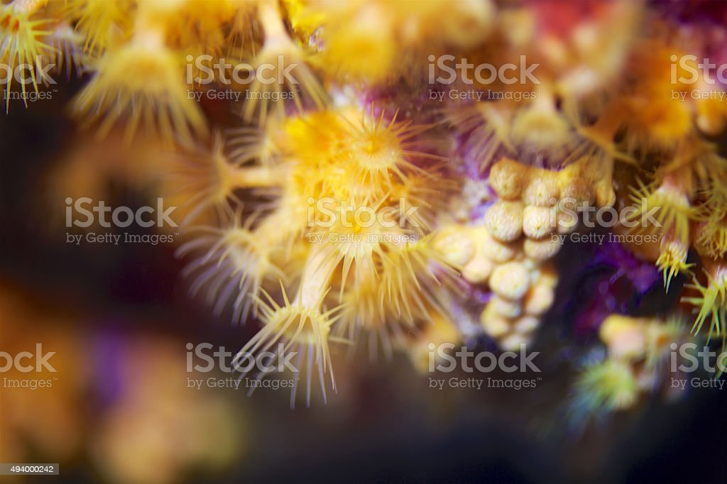 Parazoanthus axinellae stock photo