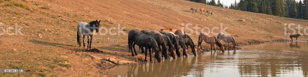 Parched herd of wild horses drinking at watering hole in the Pryor Mountains Wild Horse Range in the states of Wyoming and Montana United States stock photo