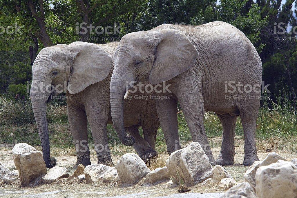 Fotografía de Pareja De Elefantes y más banco de imágenes de Aire ...