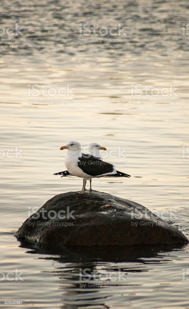 pareja de gaviotas en el mar - foto de stock