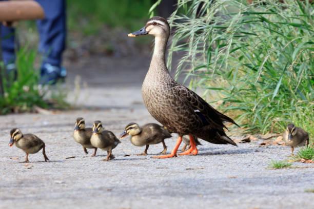 Eltern und Kind einer Spot-Rechnung Ente auf einem Spaziergang – Foto