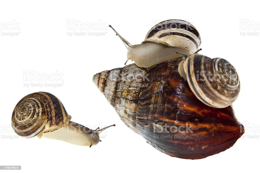Parenting snail royalty-free stock photo