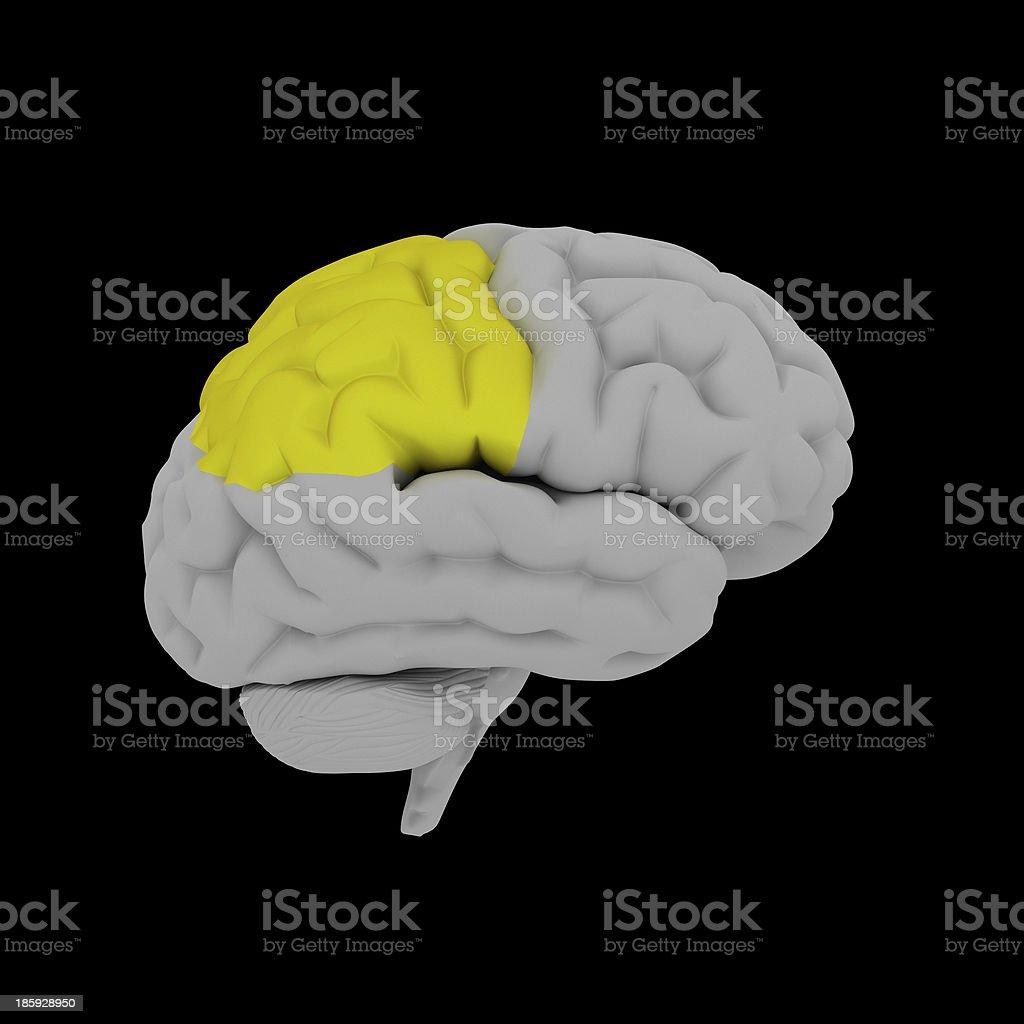 Parietal lobe - human brain in side view royalty-free stock photo