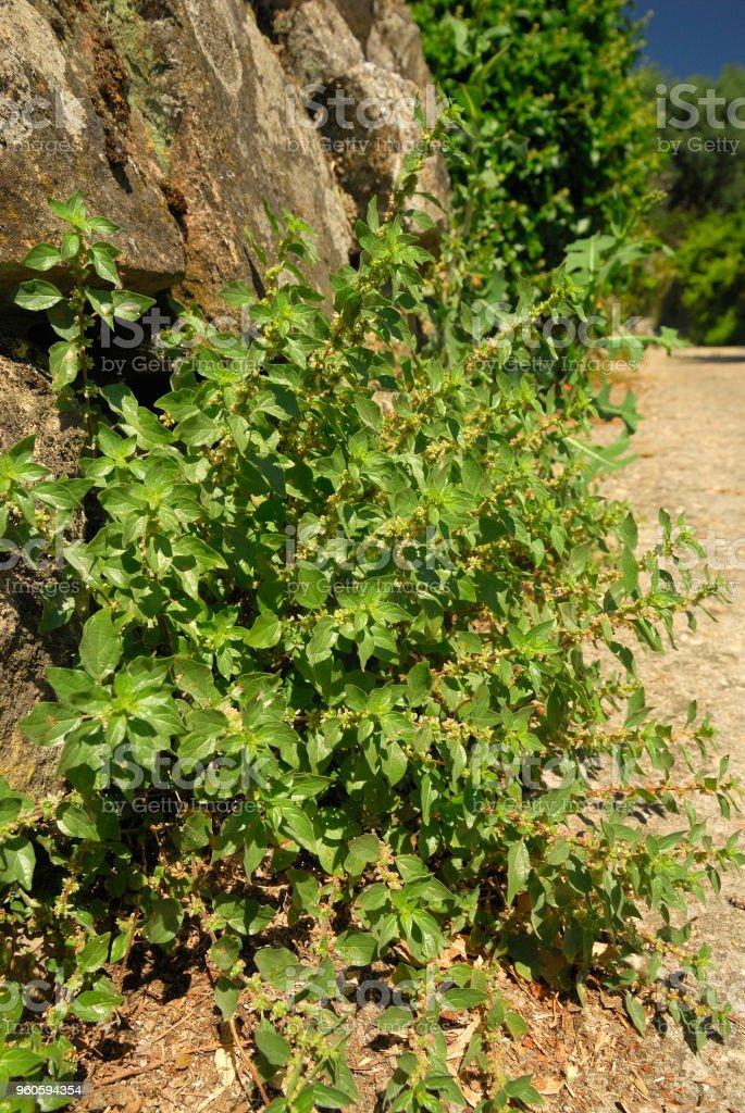 Fotografia De Parietaria Judaica Alergenos De Plantas Y Mas Banco De