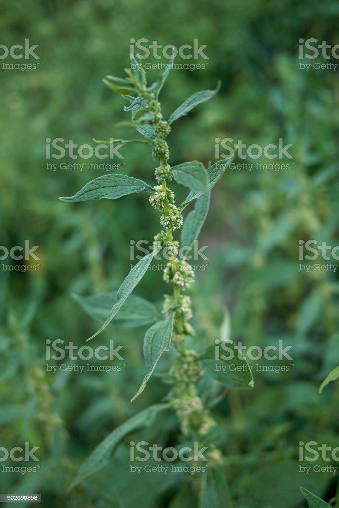 Parietaria Officinalis Imagens De Acervo E Mais Fotos De Alergia