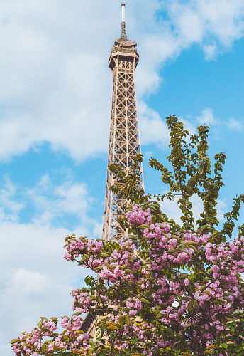 Tour Eiffel and Cherry tree blossom flowers at spring
