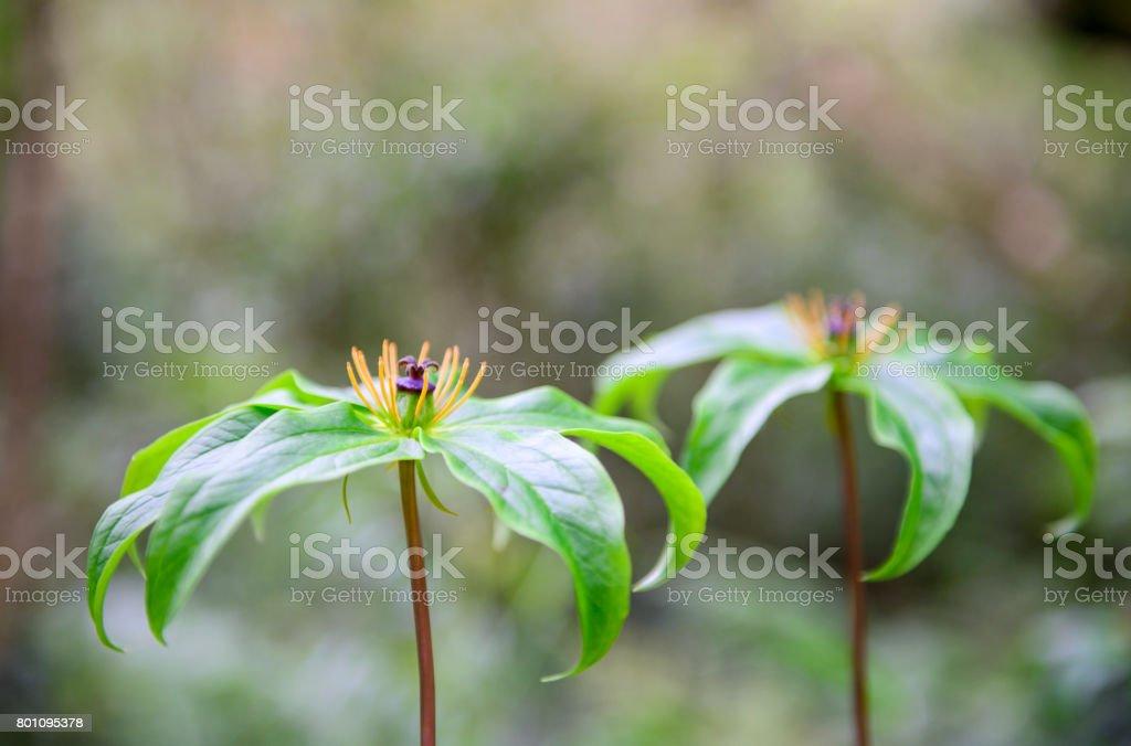 Paris polyphylla flower stock photo