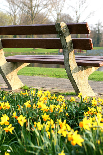 park bench and yellow daffodils - spring stock photos and pictures
