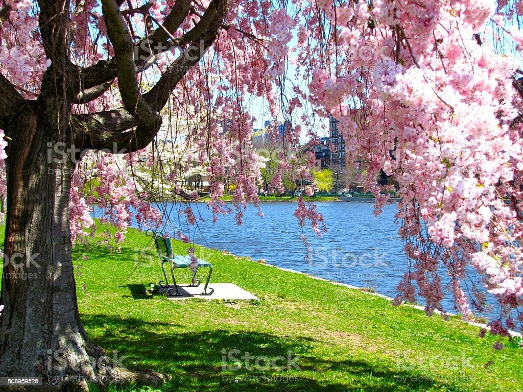 Park Bench, Charles River, Boston, MA, Springtime, Cherry Blossoms stock photo
