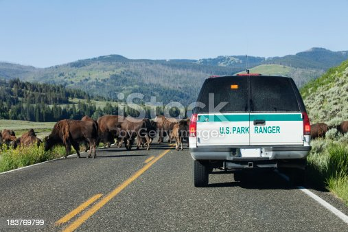 Park ranger clearing the bison off the road in Yellowstone National Park.