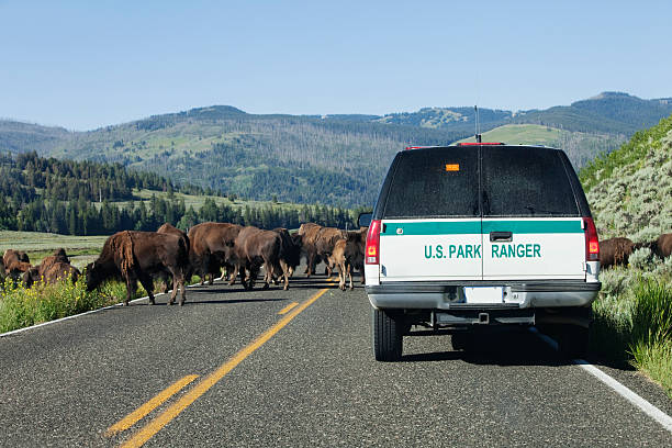 Park Ranger Park ranger clearing the bison off the road in Yellowstone National Park. park ranger stock pictures, royalty-free photos & images