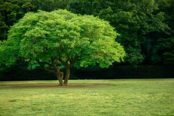 park trees 5/5000 kōen no jumoku park trees - 介護 zdjęcia i obrazy z banku zdjęć
