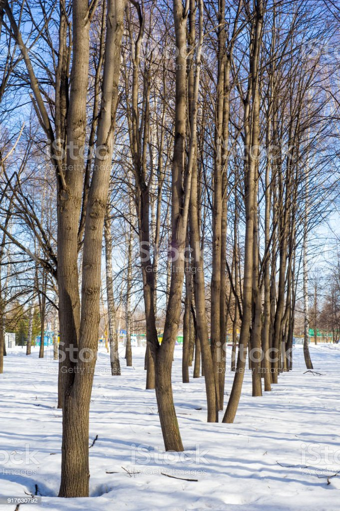 park, trees in early spring, melting snow, lime in the spring stock photo
