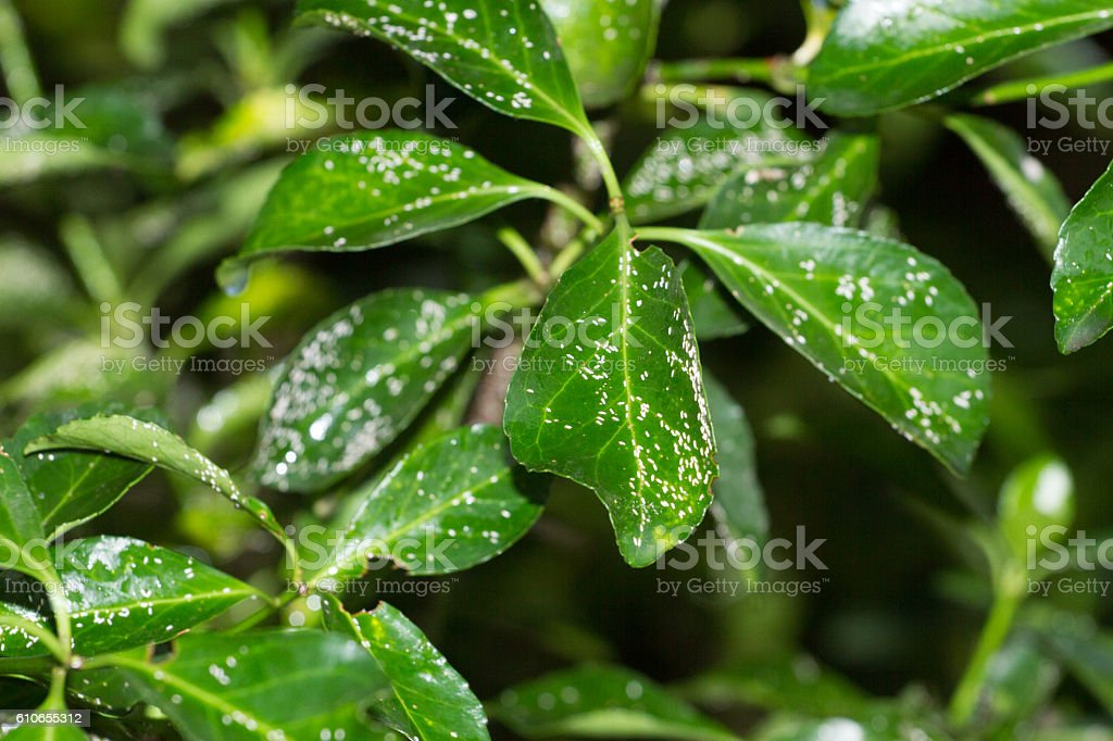 Parlatoria on leaves and branches of Euonymus japonica. Mealybugs, plant stock photo
