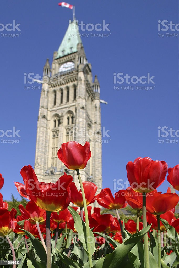 Parliament Tulips - 01 royalty-free stock photo