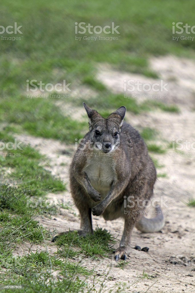 Parma wallaby royalty-free stock photo