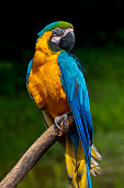 Parrot bird (Severe Macaw) sitting on the branch on dark background