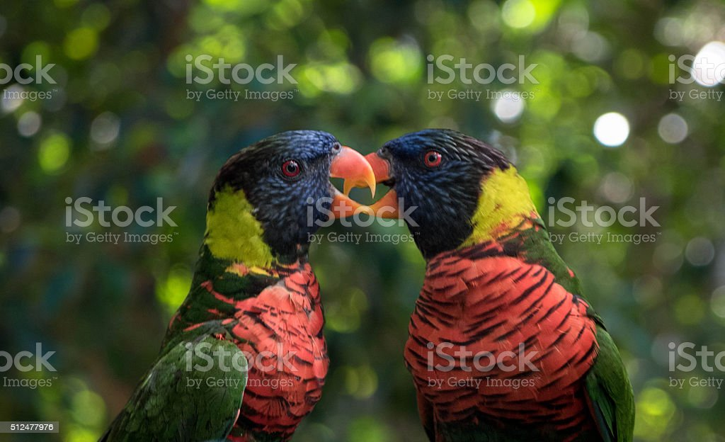 Parrot birds fighting in green jungle stock photo