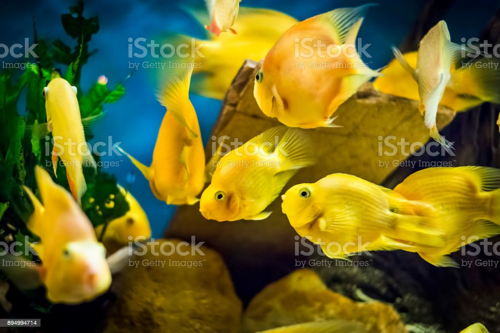 Parrot Cichlid fish in aquarium stock photo