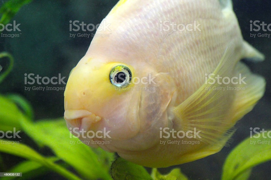 Parrot Cichlid stock photo