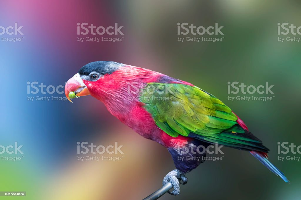 Parrot, colorful bird wildlife isolated background,zoo tropical...