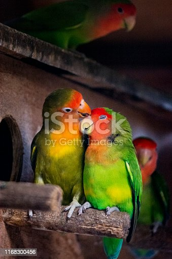 Parrot couple in love. Lovebirds are a social and affectionate small parrot native to the African continent.