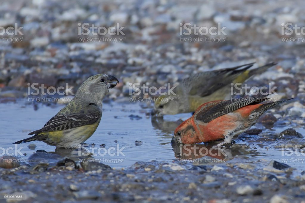 parrot crossbill (Loxia pytyopsittacus) - Royalty-free Animal Stock Photo
