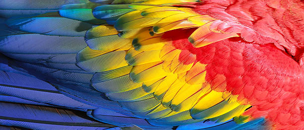 parrot feathers, red, yellow and blue exotic texture - animal markings stock photos and pictures