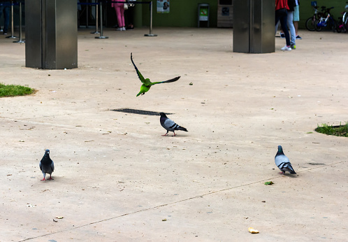 Parrot flying away from pigeons
