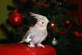 Gray cockatiel parrot on the Christmas tree background. Winter holidays