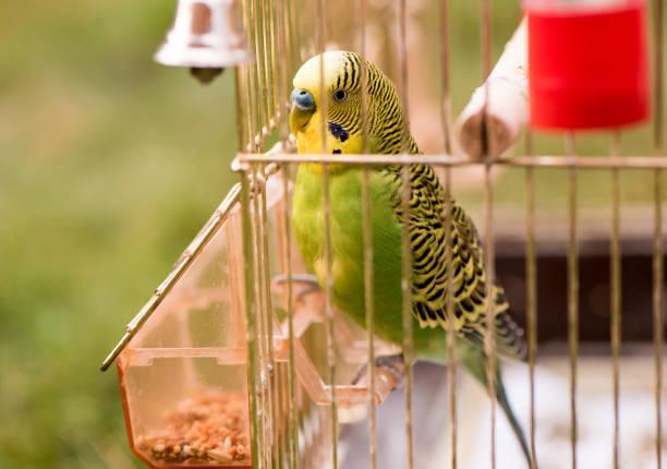 een papegaai in een kooi zit op een vogelhuis/waterbak en besluipt korrels. leuke groene budgie. - kooi stockfoto's en -beelden