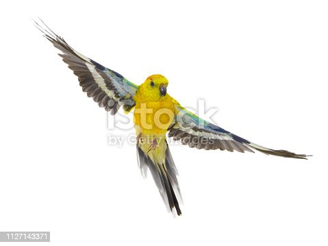 istock parrot (haematonotus psephotus) in flight isolated on white 1127143371